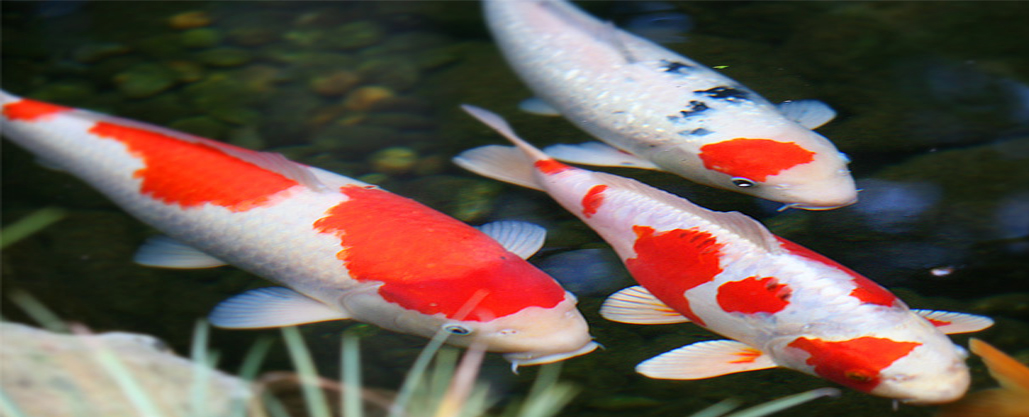Australian koi farm koi fish farm for Koi carp farm