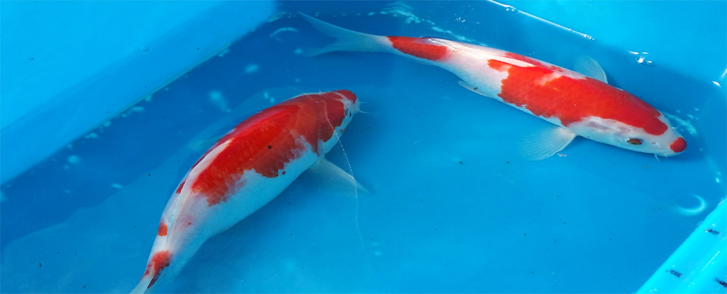 Australian koi farm koi fish farm for Bulk koi for sale